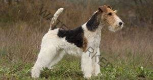 Active Dog Breed Fox Terrier Tifosi Sports